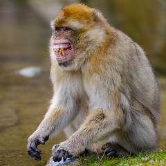A very angry Berber Monkey in the Apenheul (Ferdi's - World) Tags: bridge geotagged monkey berber ferdi apenheul apeldoorn magot gelderland macacasylvanus makaak bytrain macacasylvana ferdisworld nikongp1 nikkorafs7020028 nikond7000 metdetrein metsjoerdenkoen jomoestwerken geo:lat=52216961 geo:lon=5917087