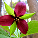 Trillium at Pilot Knob Ridge Preserve. Photo: Stuart Delman