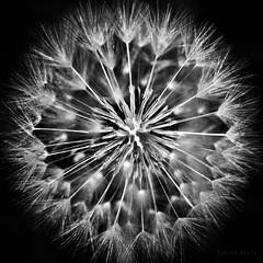 Blowball - Biðukolla (SteinaMatt) Tags: flower matt iceland flora nikon 28 nikkor ísland 1755 blowball steinunn steina biðukolla d7000 matthíasdóttir