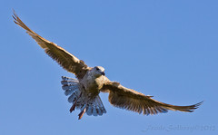 Young black-backed gull (frosol) Tags: bird birds canon seagull gulls 550d t2i ef70200mmf4lisusm seventeen7photo