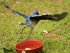 Stop! Thief! (nushuz) Tags: funny peanuts bowl bluejay amusing happysunday stopthief forthesquirrels coolonblack morecritterfun flyingawaywithapeanutinhismouth twopostsnotlikeme kindoranactionshotlol greatcatchlol