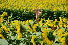 Help! (Tinina67) Tags: plant france flower colour yellow hand farm south sunday size help sunflower fields tina challenge sonnenblume osc gers ourdailychallenge tinina67 aumarron