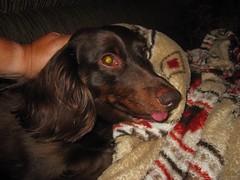 dog chien pet tongue virginia hound canine dachshund perro hund link wienerdog dackel teckel k9 doxie sausagedog newportnews aplaceforportraits pointyfaceddog