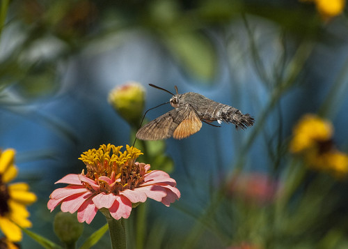 hummingbird hawk moth 11.7