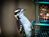 Downy Woodpecker (Rock Steady Images) Tags: camera summer ontario canada bird home nature animals canon season eos woodpecker time tripod feeder places things equipment cameras 7d processing peanut downy 50views lenses onone topaz wirelessremote alliston 25views bypaulchambers canonef70200mmf28isiiusm lightroom4 canonef70200f28isiiusm rocksteadyimages