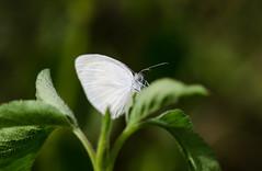 Barred Yellow 070412-201.jpg (larrysfl) Tags: butterflies insects southflorida browardcounty barredyellow euremadaira hamptonpinesparknorthlauderdale