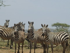 zebra all looking the same way (Real Africa) Tags: africa wild tanzania kenya running safari zebra herd grazing safarianimal