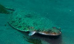 Big California Halibut (Ed Bierman) Tags: scuba diving marinelife anacapa divingtrips ncrd northerncaliforniarainbowdivers gaydiving californiamarinelife