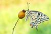 """MACAONE : """"IL RE DELLA FORESTA"""" (Siprico - Silvano) Tags: natura cernuscosulnaviglio naturalistica macrofografia """"macro siprico fotografianaturalistica 100commentgroup pricoco silvanopricoco wwwpricocoorg httpwwwpricocoorg wwwfotografiamacrocom fotografiamacrosbuzznbugzcanonsoloreflexmacrofotografiafotografia"""