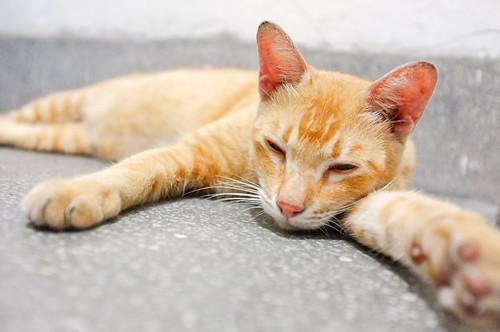 夏天昏睡的貓