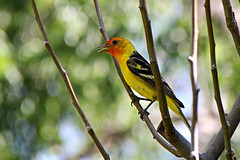 Western tanager. (Alexandra Rudge. Thanks for 257.000 + visits!) Tags: naturaleza tree nature animals fauna canon arbol bokeh wildlife pajaros animales pajaro treebranches animalia tanager wildbirds westerntanager piranga passeriformes pirangaludoviciana chordata cardinalidae vidasilvestre californiabirds californiawildlife californiafauna ramasdearbol alexandrarudge caiforniawildbirds californiawildbirds pajarosdecalifornia vidaanimalpajarossalvajes pajarosdenorteamerica faunadenorteamerica avesdenorteamerica wildlifeofcalifornia