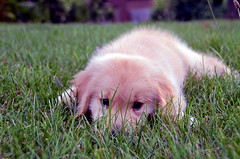 all tuckered out (Steve took it) Tags: dog cute puppy golden retriever keegan