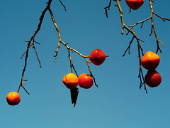 IMGP9948 (oasisframe) Tags: blue autumn trees red fall yellow fruit bluesky korea persimmon southkorea fruitful     persimmontrees koreaimage