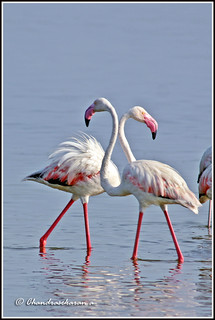 3121 - World Migratory Bird Day May 11 - 12  . Flamingos
