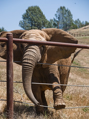 PAWS09 (swirly) Tags: california bear elephant animals tiger elephants paws sanctuary animalsanctuary sanandreas performinganimalwelfaresociety