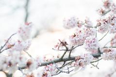 20140316_02_sakura (jam343) Tags: pink flowers flower japan season spring  sakura 90mm    hikanzakura  hikansakura