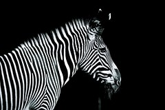 _DSC8808 (Weinstckle) Tags: zoo stuttgart grafik zebra wilhelma photografik