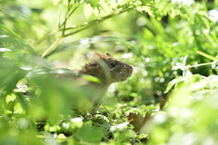 (Leela Channer) Tags: light england sunlight cute green london nature leaves animal mammal leaf spring rat ground whiskers backlit creature springtime ratty brownrat