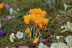 CA4A4123 (janoschg) Tags: flower germany stuttgart blume krokus badenwrttemberg canoneos5dmarkiii canon5dmarkiii stuttgart2016 stuttgartmrz2016