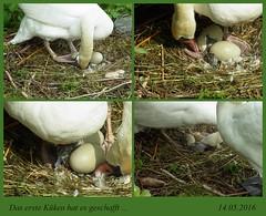 das erste Küken ist da ... 14.05.2016 (flixx-ak) Tags: bird nature animal fauna germany deutschland natur tier schwäne 2016 flixxakoffenbachammainhessen