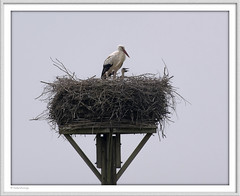 IMGP0093 (fredericfromage) Tags: nest vogel storch nachwuchs olfen steveraue