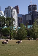 Urban Geese, Prince's Island Park, Calgary Alberta (internat) Tags: canada calgary downtown goose alberta brantacanadensis canadageese princesislandpark 2016