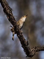 House Wren ♪♫ (Karen 571) Tags: bird wren songbird petrieisland housewren troglodytesaedon ottawaon