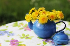 dandelion tea (s@ssyl@ssy) Tags: flowers blue yellow vintage happy weeds whimsy antique sunny roadtrip teapot yesterday potbelly elora whimsical dandelions enamel weedsareflowerstoo dollarstoretablecloth