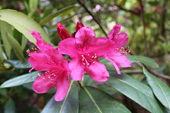 IMG_3016.JPG (robert.messinger) Tags: flowers rhodies