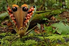 Peacock Katydid (haytham.ahmed) Tags: camouflage katydid leafbug peacockkatydid