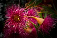 eucalyptus flower (mernamora) Tags: flower colour australia eucalyptus gumtree