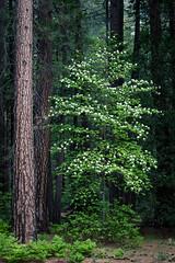 Yosemite Dogwood (Kirk Lougheed) Tags: california usa flower tree oregon forest landscape nationalpark spring unitedstates outdoor yosemite yosemitenationalpark dogwood yosemitevalley eaglecreek