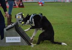 Banbury Cross Flyball - Grab and Turn