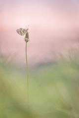Mditer au coucher du soleil (YannW) Tags: nature canon butterfly bokeh 300mm papillon laval 6d sauvage mayenne