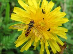 Le Syrphe ceintur (Episyrphus balteatus) (Didier Auberget Photographie) Tags: flower macro fleur plante fly hoverfly insecte mouche syrphidae pissenlit taraxacum episyrphusbalteatus syrphe diptre syrphide syrpheceintur