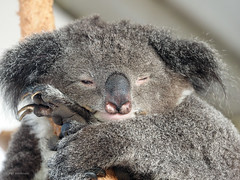 Koala (Vas Smilevski) Tags: animals australia olympus koala nsw captive featherdalewildlifepark marsupials omd australianwildlife em1 m43 phascolarctoscinereus getolympus olympusau olympusomdem1 olympusinspired mzuiko40150mmf28pro