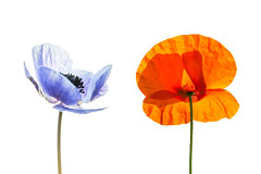Bleu, blanc, rouge (pierrepaquetonphotography.wordpress.com) Tags: blue red flower macro poppy highkey coquelicot