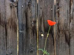 Wrong Side of the Fence--HFF! (amarilloladi) Tags: flower fence fences poppy iphone hff iphoneography fencedfriday