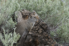 "Uinta Ground Squirrel • <a style=""font-size:0.8em;"" href=""http://www.flickr.com/photos/63501323@N07/27330582060/"" target=""_blank"">View on Flickr</a>"