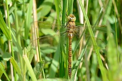 Norfolk Hawker Upton NWT a 5 (JohnMannPhoto) Tags: upton nwt norfolk hawker