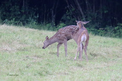 Jelenja teleta (natalija2006) Tags: red nature wildlife young deer slovenia tele calf cervus elaphus narava jelenjad mladi divjad