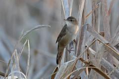 Savi's Warbler (S.G.Davis) Tags: wild reeds warbler damp wetland savis