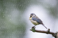 Great tit in the Rain ... The Summer comes .. The Rain is getting warmer ;-) (Claudia Brockmann) Tags: bird nature rain birds forest wildlife natur wildanimal vgel wald greattit regen vogel kohlmeise