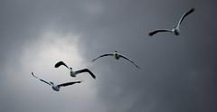 Under Cloudy Skies (imageClear) Tags: sky nature birds wisconsin clouds four aperture nikon flickr cloudy wildlife pelican sheboygan photostream bif 80400mm americanwhitepelican d600 imageclear