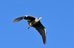 Heron (Caulker) Tags: heron january 2016 canonspark