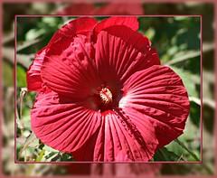 Luminous Red (bigbrowneyez) Tags: flowers light red sunlight macro nature beautiful reflections mirror petals pretty dof artistic sweet bokeh framed stripes gorgeous details creative hibiscus lovely joyful luminousred 15oakvale