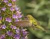 ANNA'S (sea25bill) Tags: california morning winter light sun bird nature hover annashummingbird prideofmadeira
