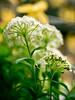 PhoTones Works #1022 (TAKUMA KIMURA) Tags: plant flower nature small 花 自然 植物 kimura ep3 takuma 琢磨 木村 小さい zd50 photones