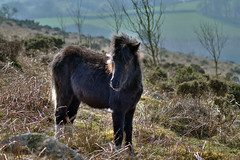 Dartmoor Pony - Explore 88 (rosyrosie2009) Tags: uk photography nikon flickr photos explore tamron dartmoor hdr westcountry photomatix dartmoorpony dartmeet tonemapped devonandcornwall d5000 rosiesphotos tamronaf70300mmf456dildmacro tamron70300mmlens nikond5000 rosiespooner rosyrosie2009 rosemaryspooner rosiespoonerphotography