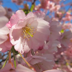 one in a million (koaxial) Tags: pink flower tree nature canon cherry blossom natur rosa powershot blume blte baum kirsche 0317 sx130 koaxial canonpowershotsx130is img1971a